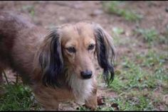 Lost Dog - Dachshund Long Haired - Navarre, FL, United States