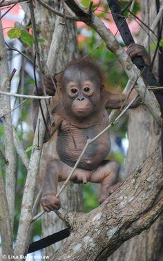 Baby Orangutan from Borneo Primates, Mammals, Cute Baby Animals, Animals And Pets, Funny Animals, Beautiful Creatures, Animals Beautiful, Panda Bebe, Baby Orangutan