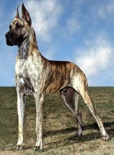Brindle Great Dane