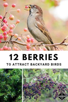 bird garden Are you thinking about adding bird feeders to your yard to attract birds Consider growing berries to attract birds to your landscape. Learn which berries to grow for birds. Dogwood Trees, Trees And Shrubs, Elderberry Shrub, Raspberry Plants, Backyard Birds, Garden Birds, Garden Whimsy, Garden Junk, How To Attract Birds