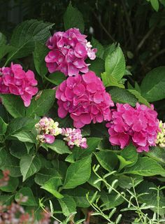 This Cityline Venice Hydrangea simply glows. . . A strong yet feminine accent for that Victorian romanticism. From Proven Winners Plants.