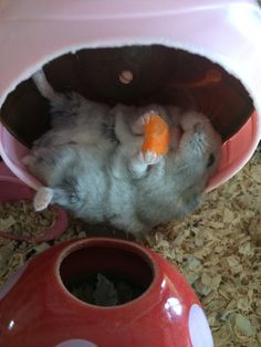 Hamster lounging in his wheel with the Cheezie of Joy