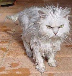 A fluffy cat (post-draining)