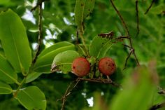 Fruit plants in our yard.....