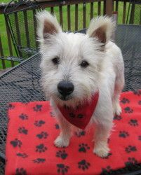 O'Hara (Harry) is an adoptable West Highland White Terrier Westie Dog in Franklin, TN. O'Hara (Harry for short) is a darling10 month-old AKC registered Westie puppy we were lucky enough toacquire fr...