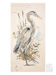 Great Blue Heron Giclee Print by Chad Barrett at Art.com