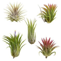 These are true ionantha fuego. Most are all green. They will blush fire red when in bloom and when kept in bright light. Red Plants, Live Plants, Cactus Plants, Planting Plants, Home Garden Plants, House Plants, Euphorbia Milii, Cactus Seeds, Thing 1