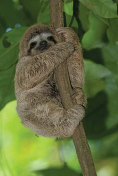 Sloth hugging a tree