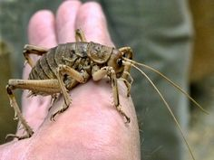 giant weta from new zealand