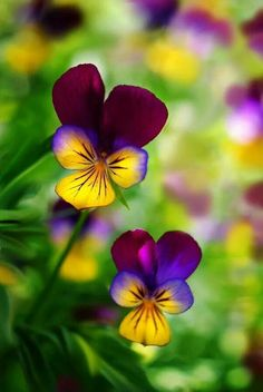 Violas beautiful color  I love the pansy face, my favorite flower.