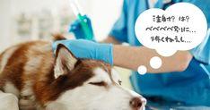 犬を飼うための費用は200万円です【最新版】 - いぬのみみ Husky, Dogs, Animals, Animais, Animales, Animaux, Pet Dogs, Doggies, Animal