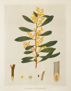 Superb large Australian botanical from, The Forest of South Australia by John Ednie Brown name: Mallee golden wattle or Flinders wattle Botanical Drawings, Botanical Illustration, Frame Wall Collage, Australian Native Flowers, History Images, Antique Maps, Learn To Paint, Color Theory, Acacia