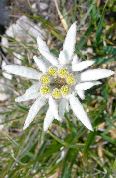EDELWEISS often seen with ENZIAN and ALPENROSE in pressed flower pictures.