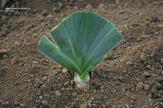 Iris replanting tutorial