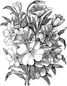 Oenothera Albicaulis and Oenothera Californica Realistic Flower Drawing, Realistic Drawings, Unique Drawings, Colorful Drawings, Floral Illustrations, Botanical Illustration, Pencil Drawings, Art Drawings, Engraving Illustration