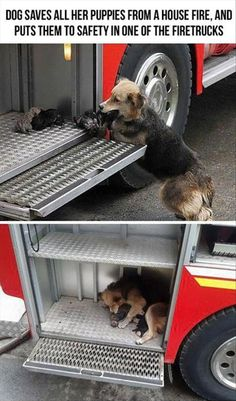 dog saves all his puppies from a fire, places thems safetly in a firetruck. Awww my heart just melted