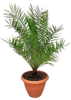 Sylvester Date Palm