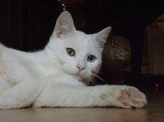 Beautiful odd eyed cats