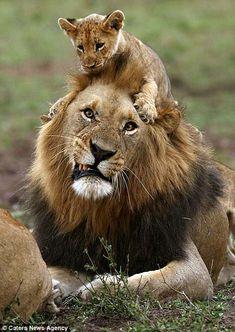 Lion cub gets on the wrong side of an angry adult- In a hilarious set of pictures, the male lion is seen gritting his teeth and roaring as the little one continues to annoy him Cute Baby Animals, Animals And Pets, Funny Animals, Wild Animals, Big Cats, Cats And Kittens, Cute Cats, Beautiful Cats, Animals Beautiful