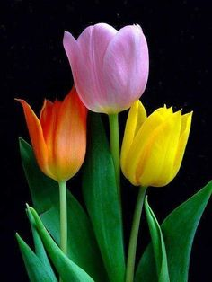 Tulips - My favorite flower after the rose. Tulips Garden, Tulips Flowers, Exotic Flowers, Flowers Nature, Amazing Flowers, Beautiful Roses, Fresh Flowers, Spring Flowers, Planting Flowers