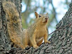 Fox Squirrel Photos