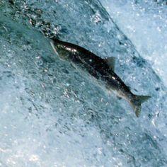 Lachsangeln , der erste Lachs der Saison.  Im Frühjahr, wenn die ersten Lachse zum Laichen in die Flüsse aufsteigen, gibt es für die englischen Experten im Lachsangeln kein Halten mehr.  Der atlantische Lachs, oft wird er der König der Fische genannt, ist in den schottischen Flüssen tatsächlich der König der Highlands.  http://www.angelstunde.de/lachsangeln/
