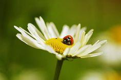 Margarite, Geese Flower, White