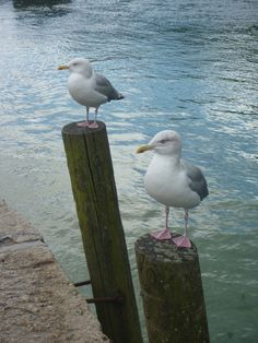 Seagulls waiting for an unsuspecting pastie eater, Looe, Cornwall