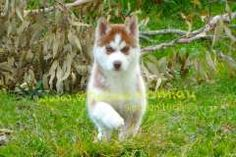 Husky Puppies For Sale, Siberian Husky Puppies, Husky Puppy, Seal Point Siamese, Snow Dogs, Siamese Cats, My Little Girl, Doberman, Dog Breeds