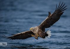 shipwreckedinsc:  Sea Eagle by -rolandalbanese- #flickstackr