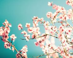 spring photography blossom wall art 8x10 8x12 botanical photography fine art floral photography flower bedroom decor sakura pastel teal pink...