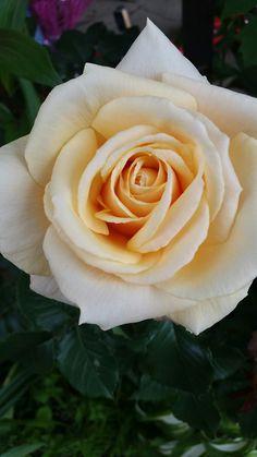 Rose trandafir