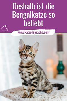 Die Bengalkatze ist wunderschön. Ihr optisches Erscheinungsbild ähnelt einer Raubkatze im Kleinformat. Warum diese Katzenrasse so beliebt ist ... #katze #katzenrasse #bengal #bengalkatze #bengalkatzebaby #bengalkitten #bengalkatzekaufen #bengalkatzepreis #begalkatzezüchter #katzeverhalten #katzeanschaffen #bengalkatzecharakter #bengalkatzekosten