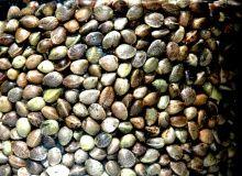 Hemp Seed Body Butter alleviates: psoriasis / eczema / shingles / dry flakey skin / cracked heels / diaper rash / dry scalp / crow's feet / brittle hair Autoflowering Seeds, Hemp Seeds, Sunflower Seeds, Chia Seeds, Superfoods, Eczema Psoriasis, Seed Bank, Brittle Hair, Healthy Oils