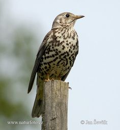 Picture of drozd brávník Turdus viscivorus Mistle Thrush Misteldrossel Mistle Thrush, Bird Houses, Finland, Natural Beauty, Scenery, Creatures, Birds, Nature, Naturaleza