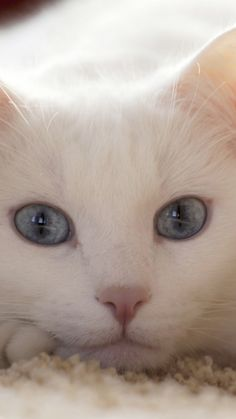 white cat -- [REPINNED by All Creatures Gift Shop]