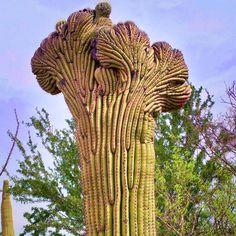 Crested Saguaro | Cactus | Tucson | Arizona | Photo via IG user @railroadhatpat