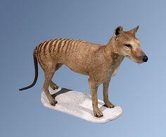 "Thylacine ""Tasmanian Tiger"" (Thylacinus cynocephalus) - Taxidermy Specimen. Extinct Circa 1936. Native to Australia. Bristol City Museum, Bristol, England."