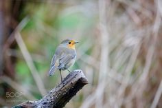 Robin by ThierryRossier #animals #animal #pet #pets #animales #animallovers #photooftheday #amazing #picoftheday