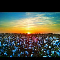 Mississippi Delta Cotton  John Montfort Jones