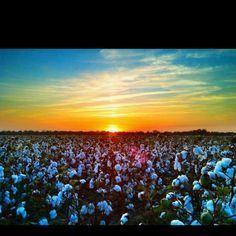 Mississippi Delta Cotton  John Montfort Jones