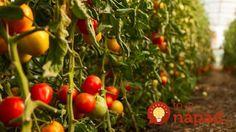 Najlepšia rada, ako zvýšiť úrodu rajčín: Čím skôr každú rajčinu takto upravte a pomôžete jej k omnoho väčšej úrode! Tomato Seedlings, Tomato Plants, Tomato Growers, Growing Tomatoes In Containers, Bountiful Harvest, Garden Types, Sustainable Energy, Food Science, Water Plants