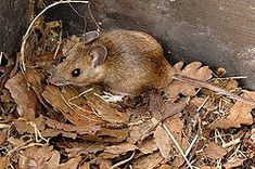 The yellow-necked mouse (Apodemus flavicollis), is closely related to the wood mouse, with which it was long confused. It was only recognised as a separate species in 1894. It differs in its band of yellow fur around the neck and in having slightly larger ears and usually being slightly larger overall.