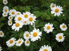 Päivänkakkarat Childhood Memories, Flowers, Plants, Plant, Royal Icing Flowers, Flower, Florals, Floral, Planets