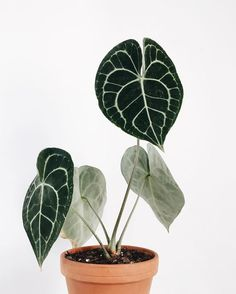 Anthurium Clarinevium - All For Herbs And Plants Cactus House Plants, House Plants Decor, Plant Decor, Potted Plants, Cool Plants, Green Plants, Belle Plante, Plant Aesthetic, Plant Cuttings