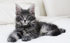 The Maine Coon characteristics really set these cats apart. It's time for a head to tail analysis of the Maine Coon cat. What makes a Coon a Coon?