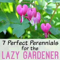 Just because you don't have a lot of time to garden doesn't mean you can have a beautiful yard! Check out the 7 perfect perennials for the lazy gardener!