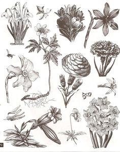 Botanical illustrations.