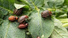 Mandelinka je velmi plodná. Za měsíc dokáže naklást až 500 vajíček Snail, Tips, Slug, Counseling
