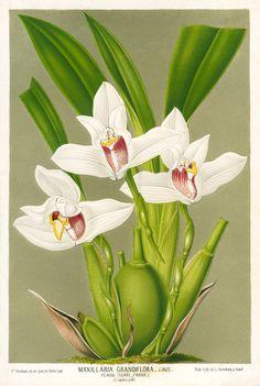 Maxillaria orchid botanical print
